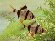 Рыбки аквариумные здоровые