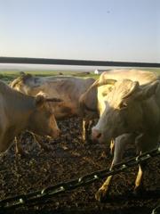 Дойное стадо,  Симментальские коровы