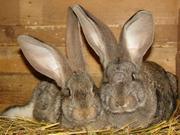 Продаются кролики породы фландер