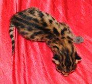 саванна котята на продажу