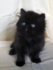 Отдам котенка персидской породы. Черный
