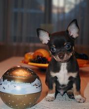 Продаю щенков чихуахуа различных окрасов,  в т.ч  редких