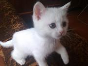 Британский плюшевый котёнок 1, 5 месяца