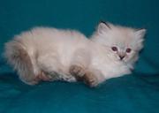 Невские маскарадные и сибирские котята из питомника Vanilla Sky