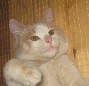 Отдам в хорошие руки рыже-белого котика