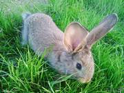 Кролики Бельгийский великан  Фландр