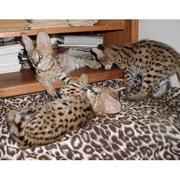 Великий Породистых котят.