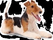 Питомник Mixmira предлагает щенков Фокстерьера