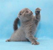 Плюшевый голубой вислоухий котик