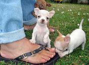 ужин милые щенки чихуахуа