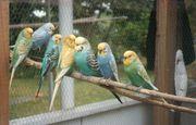 Попугаев: Волнистых,  Корелл,  Неразлучников,  Розелл,  Крамера оптом