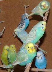 Крымские попугаи мелким оптом. Авто доставка