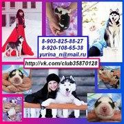 Хаски черно-белых красивенных щенков с яркими голубыми глазами♥