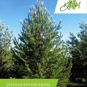 Посадка деревьев крупномеров с гарантией на приживаемость от ЛЦ